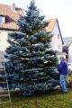 Aufstellen des Weihnachtsbaums